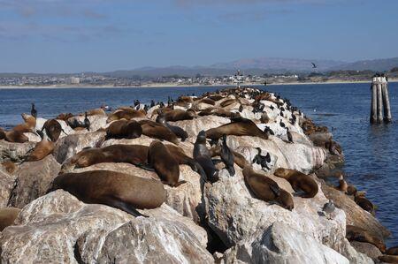 monterey: Sea lions on the rocks in Monterey; California