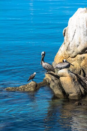 pelicans: Pelicans on the rocks in Monterey, California Stock Photo