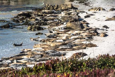 eared: Sea lions on the beach of Monterey, California Stock Photo