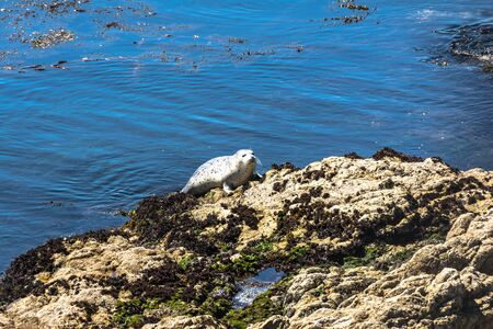 pinniped: Seal hauled out on rock, Monterey, California Stock Photo