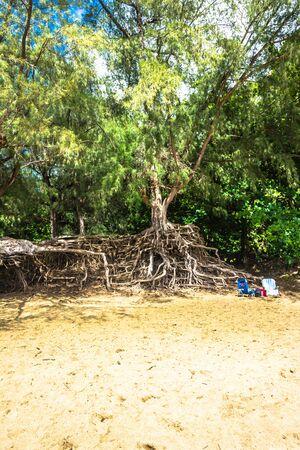 kauai: Hawaiian tree with aerial roots in Kauai, Hawaii