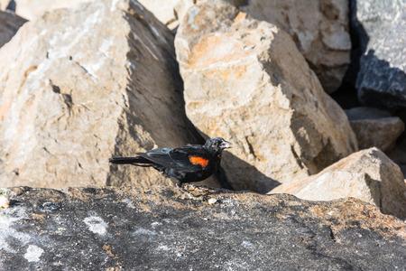 blackbird: The red-winged blackbird, California