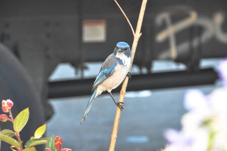 bluebird: Bluebird on a twig, California