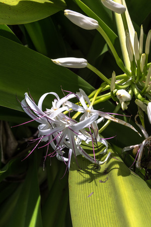 White hawaiian flowers hawaii stock photo picture and royalty free stock photo white hawaiian flowers hawaii mightylinksfo