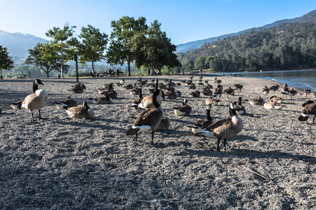 canadian geese: Canadian geese at Lake Del Valle, California