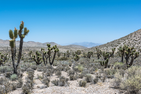 joshua: Joshua tree forest, Mount Charleston, Nevada Stock Photo