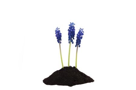 three hyacinths flower isolated on white background Stock Photo - 13179473