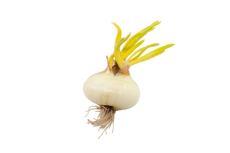sprouted: sprouted onion isolated on white background