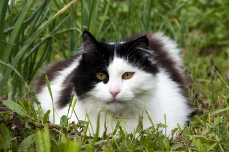 black and white cat in the grass photo