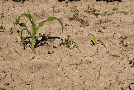 young corn stalks, on dry and cracked earth photo
