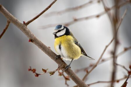 Blue Tit sitting on a tree branch Reklamní fotografie