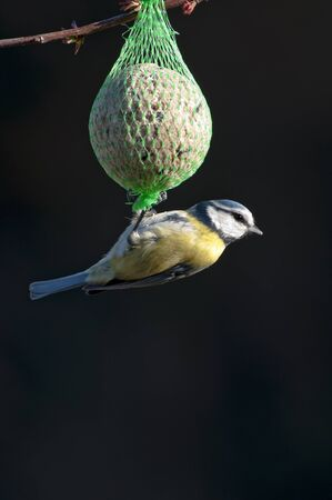 bird feeder: blue tit feeding on a bird feeder