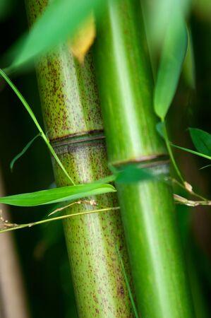 Zen bamboo forest green background