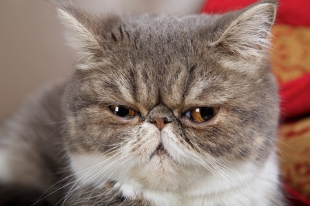 Exotics cat breed Stock Photo - 7449634