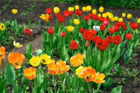 Tulips - beautiful spring flowers Stock Photo - 7465909