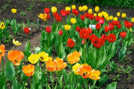 Tulips - beautiful spring flowers photo