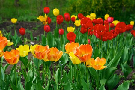 Tulips - beautiful spring flowers Stock Photo - 7465894
