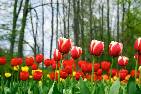 Tulips - beautiful spring flowers Stock Photo - 7465896