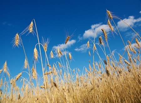 fascicle: Golden wheat field under a blue sky Stock Photo