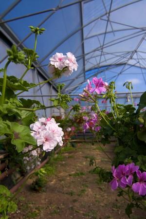 glasshouse: Glasshouse with pelargoniums Stock Photo