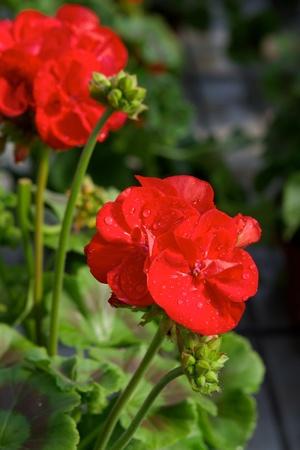 pelargonium: Red pelargonium ring