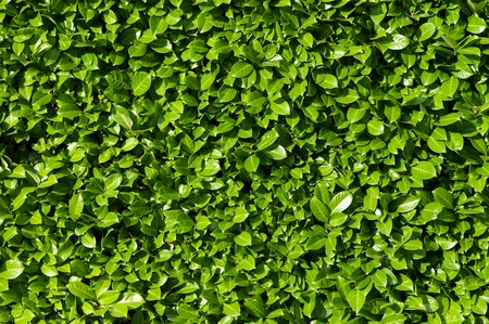 hedge: Laurel leaves, hedge of green laurel bushes Stock Photo