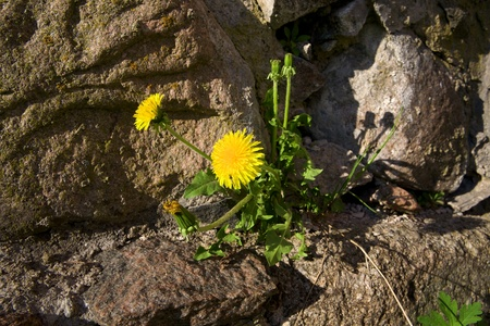 Dandelion growing from the stone wall photo