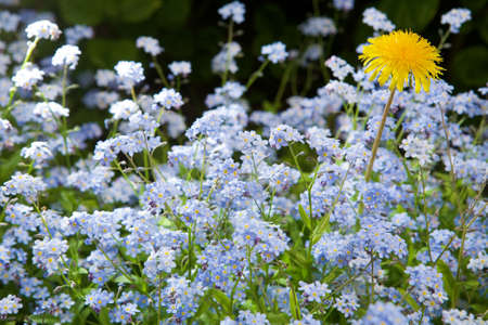 Blue flowers and single dandelion blossom photo