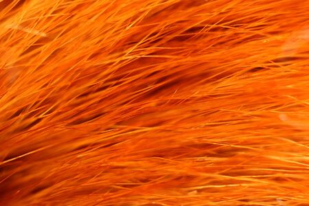 pelage: Red fox fur with pied beautiful hairs Stock Photo