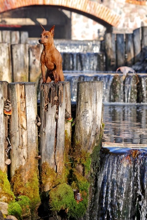Red Miniature Pinscher photo