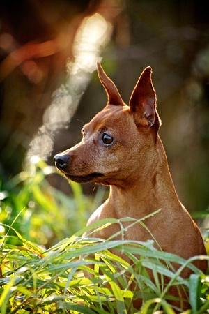 pinscher: Red Miniature Pinscher