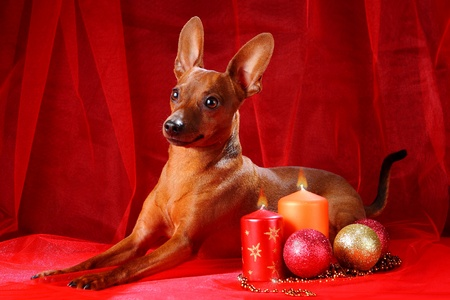 min: Christmas theme. Miniature Pinscher on a red background. The Miniature Pinscher (Zwergpinscher, Min Pin) is a small breed of dog of the Pinscher type, developed in Germany.
