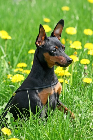 The Miniature Pinscher (Zwergpinscher, Min Pin) is a small breed of dog of the Pinscher type, developed in Germany. photo