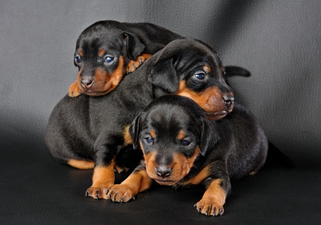 pinscher: The Miniature Pinscher puppy, 3 weeks old, lying in front of black background