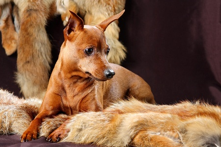 The Miniature Pinscher (Zwergpinscher, Min Pin) is a small breed of dog of the Pinscher type, developed in Germany. Miniature Pinschers were first bred to hunt.) photo