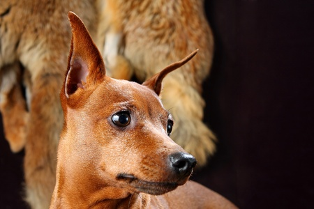 min: The Miniature Pinscher (Zwergpinscher, Min Pin) is a small breed of dog of the Pinscher type, developed in Germany. Miniature Pinschers were first bred to hunt.) Stock Photo