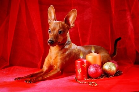 Miniature Pinscher on a red background. The Miniature Pinscher (Zwergpinscher, Min Pin) is a small breed of dog of the Pinscher type, developed in Germany. photo