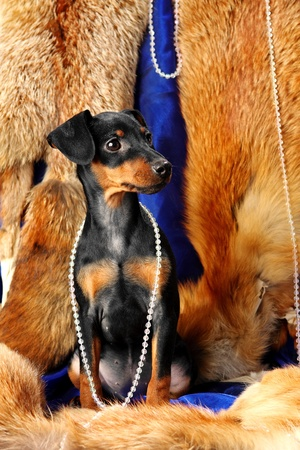 Miniature Pinscher puppy sit on a fox fur Stock Photo - 12440627