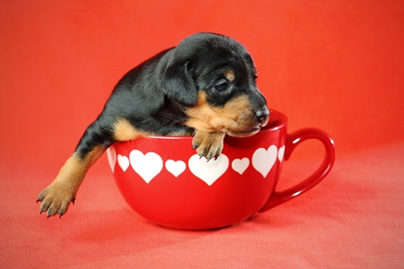The Miniature Pinscher puppy, 3 weeks old, lying in front of red background photo