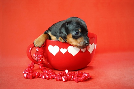 pinscher: The Miniature Pinscher puppy, 3 weeks old, Valentines day