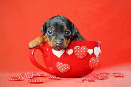 The Miniature Pinscher puppy, 3 weeks old, Valentines day photo