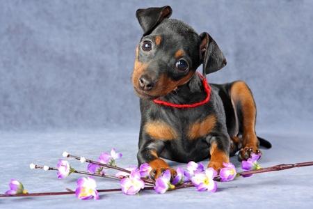 The Miniature Pinscher puppy, 2.5 months old Stock Photo - 13081158