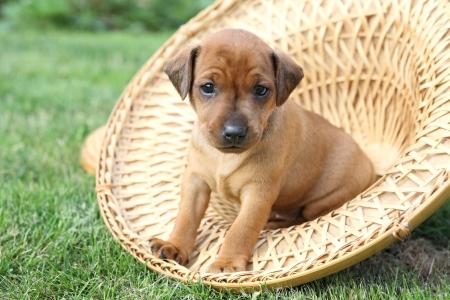 miniature breed: Los cachorros de Pinscher miniatura, 1 mes de edad