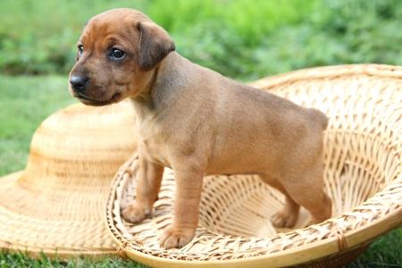The Miniature Pinscher puppy, 1 months old photo