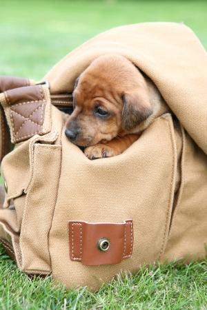The Miniature Pinscher puppies, 1 months old photo