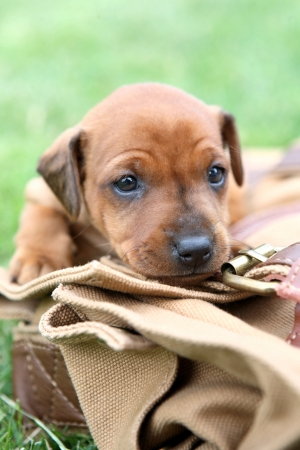 The Miniature Pinscher puppies, 1 months old photo