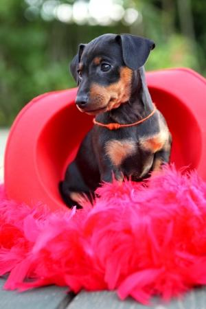 pinscher: The Miniature Pinscher puppy, 1,5 months old