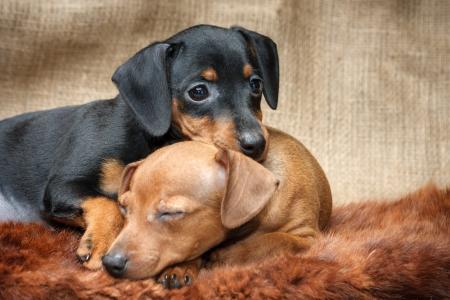 pinscher: The Miniature Pinscher puppies, 2 months old