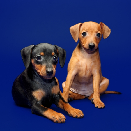 The Miniature Pinscher puppies, 2 months 1 week old photo