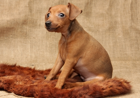 The Miniature Pinscher puppy, 2 months 1 week old photo
